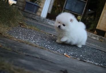 Πολύ φιλικά και όμορφα Pomeranian κουτάβια σε Athens