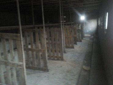 Bakı şəhərində Ramana savxozunda 50 bas iri buynuzdu heyvan saxlamali ferma satilir